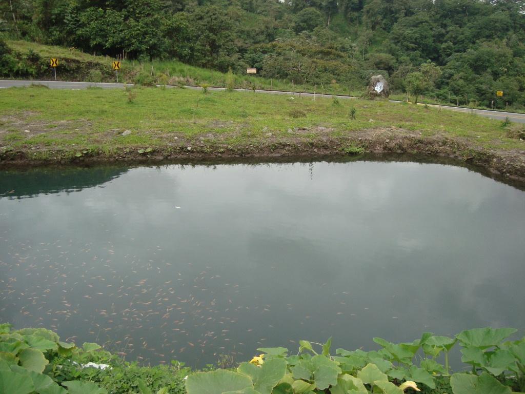 criadero tilapia roja via lago agrio 1 acuariofilia