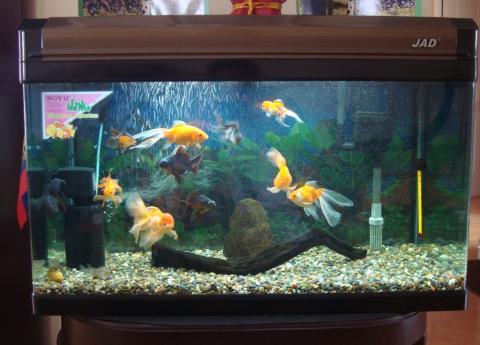 Acuario goldfish acuariofilia ecuador for Criadero de peces goldfish